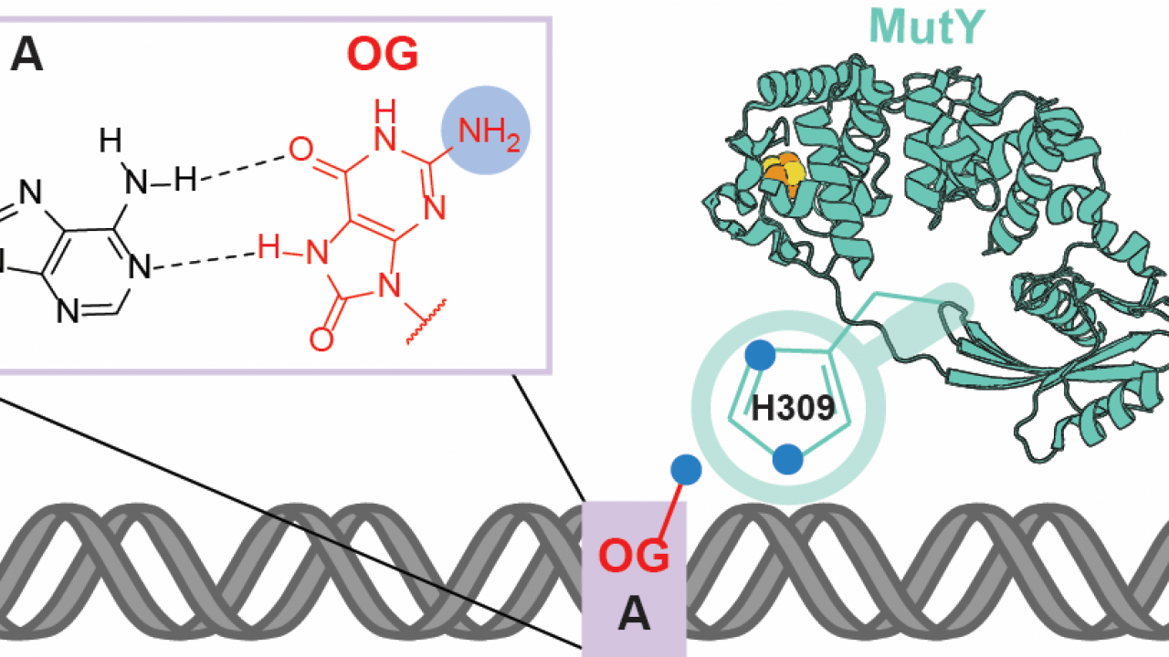 Detection of OG:A Lesion Mispairs by MutY Relies on a Single His Residue and the 2‑Amino Group of 8‑Oxoguanine